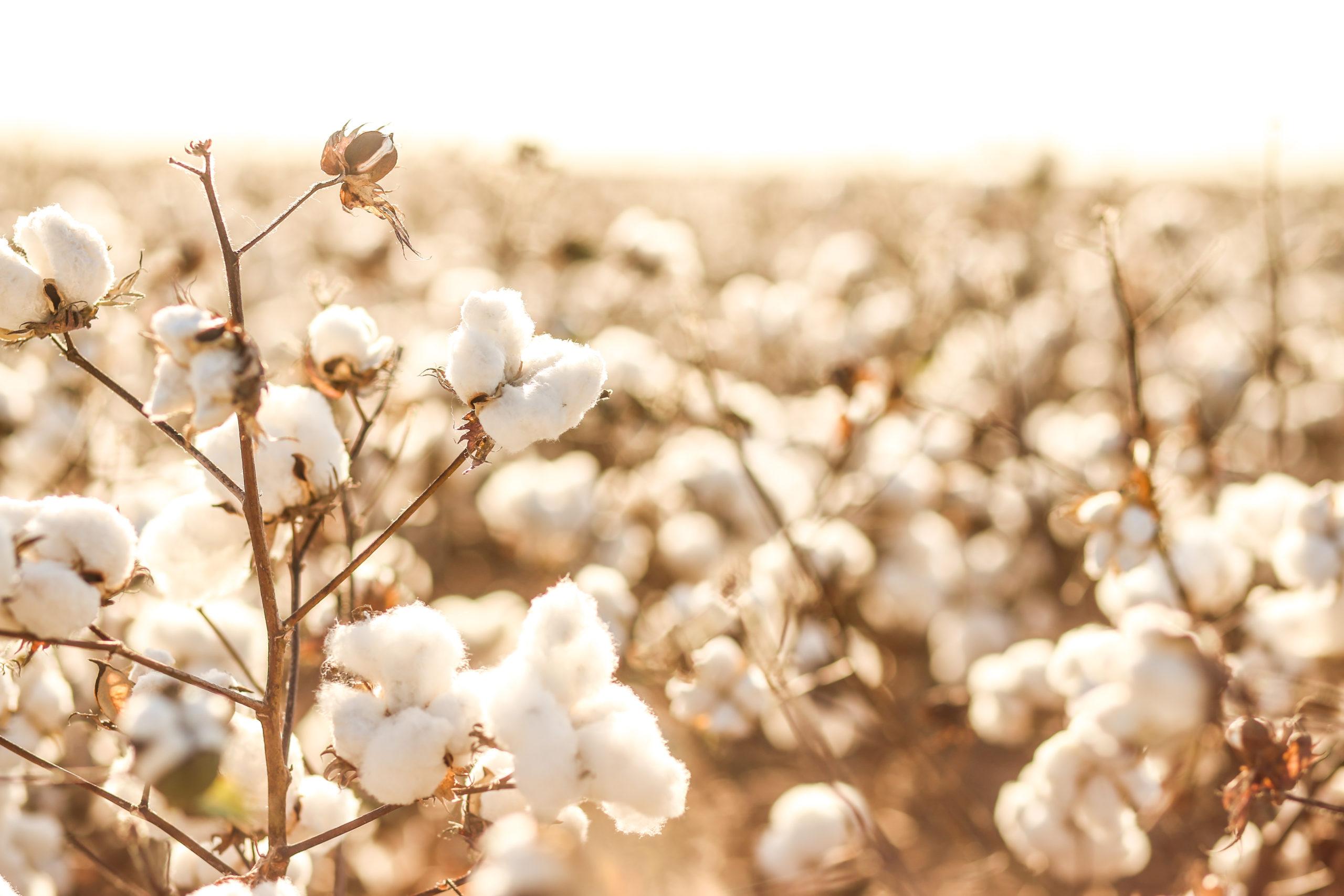 Campos algodón